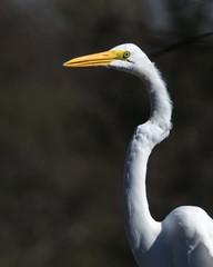Great Egret Portrait!