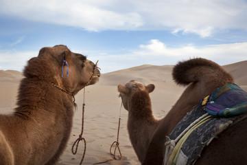 Gobi desert. Khongoryn Els
