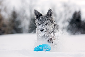 Pyrenean Shepherd plays with frisbee in snow