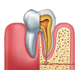 Human Tooth Anatomy Concept