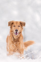 Happy Golden Retriever in Winter