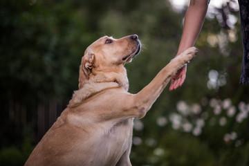 Labrador retriever shaking hand