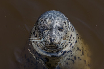 Harbor seal in the bay