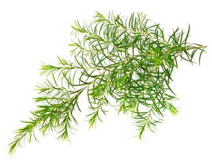 fresh tea tree leaves isolated on white