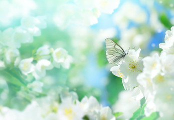 Natural background with butterfly on the branch of blooming jasmine. Spring scene.