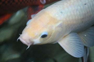 Amur Carp / Koi Fish