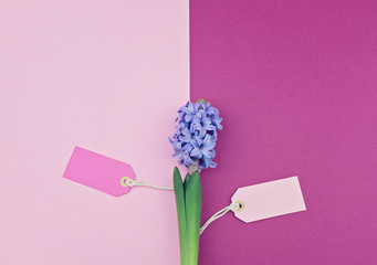 Season Spring sale concept. Fresh flower hyacinth with two tag on pink and fuchsia paper background. Top view, flat lay, copy space
