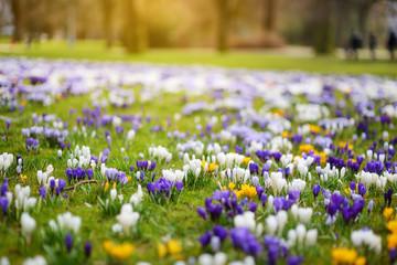 Foto auf Acrylglas Krokusse Blooming crocus flowers in the park. Spring landscape.