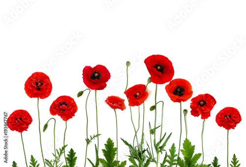 frame of flowers red poppies papaver rhoeas common names corn