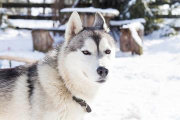 Husky in winter landscape