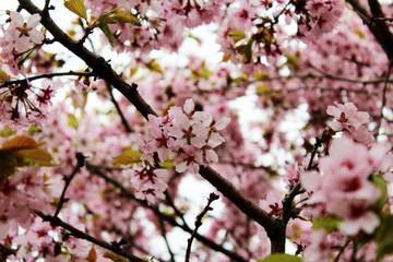 сакура - японское дерево