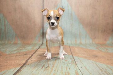 Chihuahuawith blue and tan patterned wood background