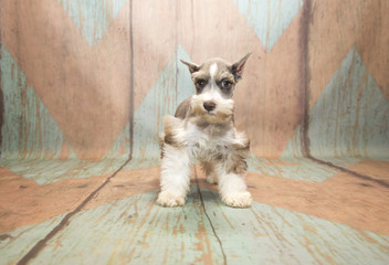 Miniature Schnauzer with blue and tan patterned wood background