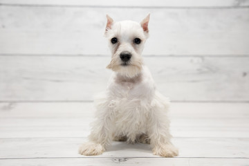 Miniature Schnauzer with white wood background