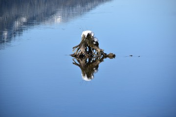 Snow topped tree stump in river with reflection