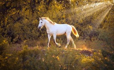 Wild Horse in Sun Rays - Salt River Arizona