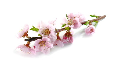 Flowering branch of peach. Isolated on white background.