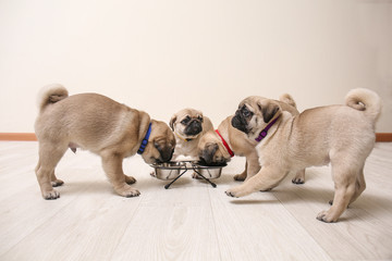 Cute pug puppies eating at home