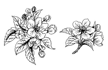 Apple blossom, black and white contour drawing, vector illustration.