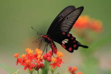 macro photography of Pachliopta hector butterfly with milkweed plant