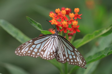 macro photography of blue monarch butterfly with milkweed plant