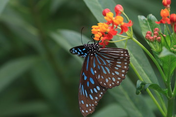 macro photography of blue monarch butterfly with milkweed plants