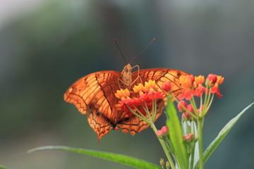 macro photography of Cruiser butterfly (Vindula arsinoe) with milkweed plant