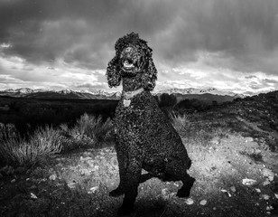 Gorgeous Black Poodle outdoors at Cabin in Rocky Mountains Colorado