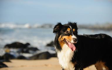 Australian Shepherd dog standing on ocean beach