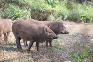 wild boar at the cage