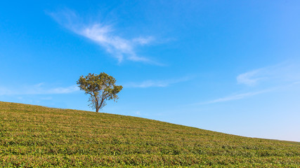 Alone tree on tea plantation and meadow with Blue Cloudy Sky in summer day.