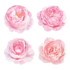 Rose flowers in pink color on white background. Vector set of blooming floral for wedding invitations and greeting card design.