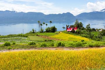 Rice field parts with  Batak ethnic house, West Sumatra,Maninjau lake area,Indonesia