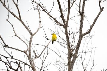 common iora bird