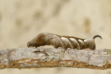 Image of brown caterpillar on branch on natural background. Worm. Insect. Animal.