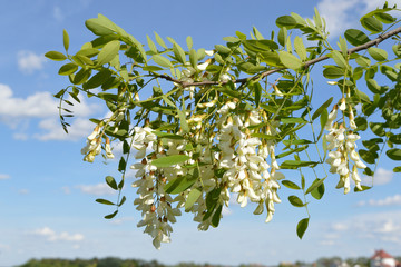 Flowering acaciaBranch of the flowering acacia tree on the background of the sky