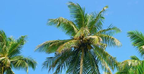 Tropical palm trees and blue sky. Wide photo