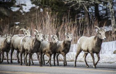 Rocky Mountain National Park Bighorn Sheep licking salt off road, Colorado