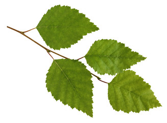Birch branch with leaves isolated on white background.
