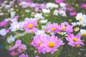 A beautiful cosmos flowers in garden