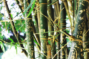 Bamboo forest with carvings of peoples names and initials