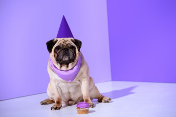 pug dog in purple party hat with cupcake, on ultra violet