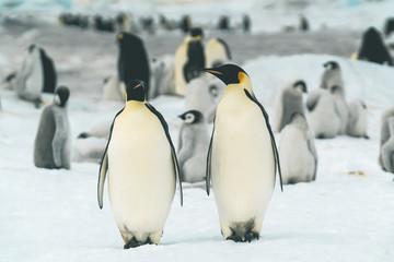 Two Adult Emperor Penguins - Antarctica