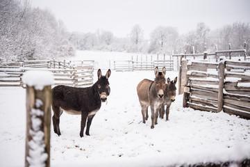 Donkey family listening in winter snow