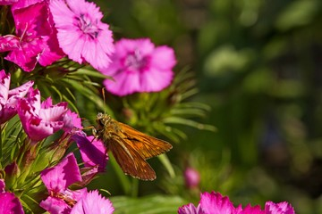 butterfly on a bright pink flower in the garden