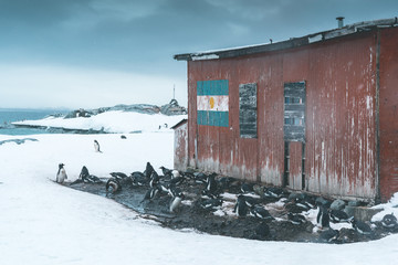 Group of Gentoo Penguins at Research Station Building - Antarctica