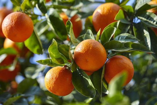 mandarin tree with ripe mandarines