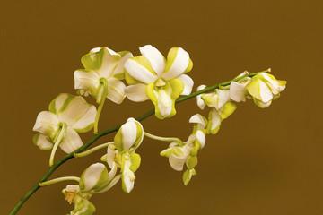 White orchid flowers Bangalore, Karnataka.