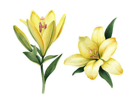Watercolor illustrations of lily flowers. Perfect for greeting card or invitation