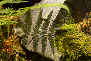Shade of fern on the stone
